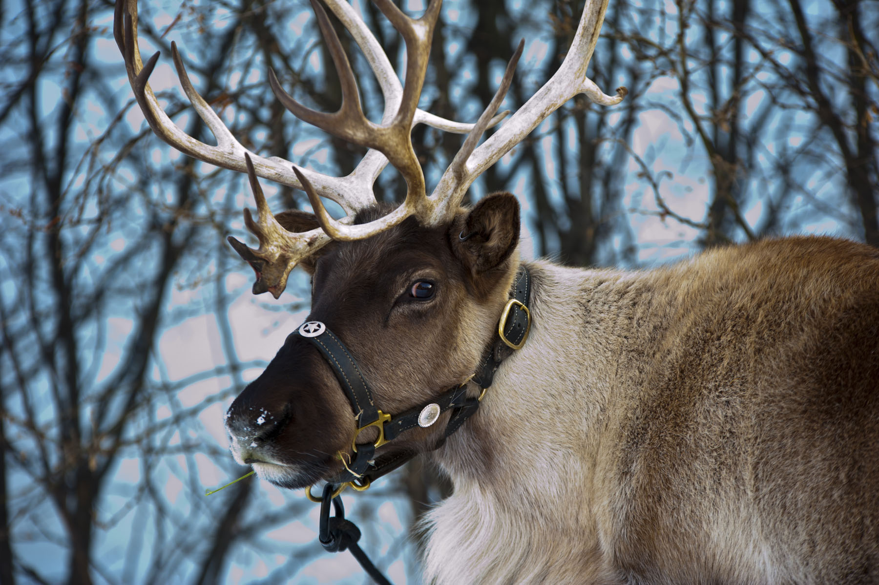 Viewing Gallery For - Santas Reindeer