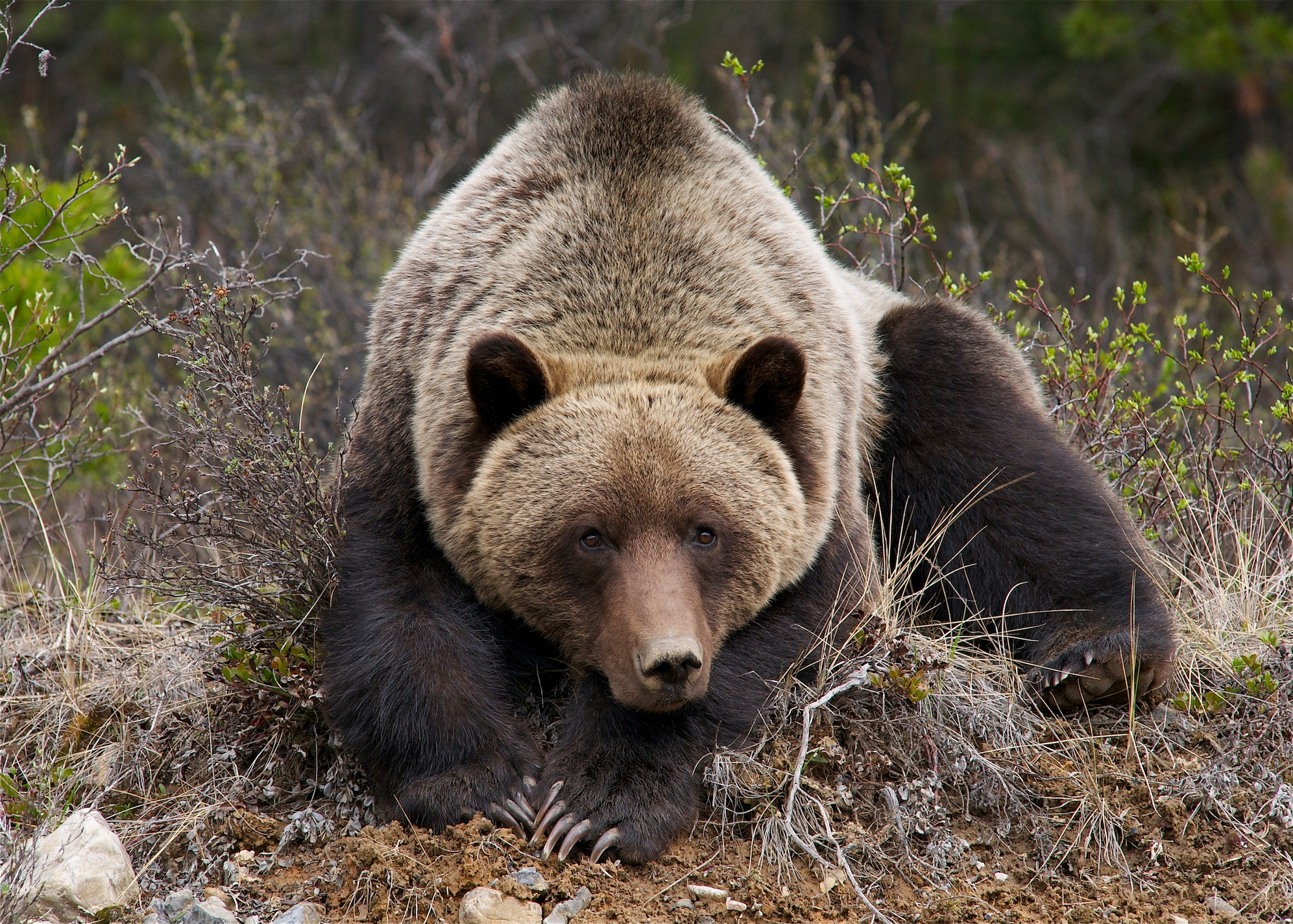 Unbound bear getting hard rod